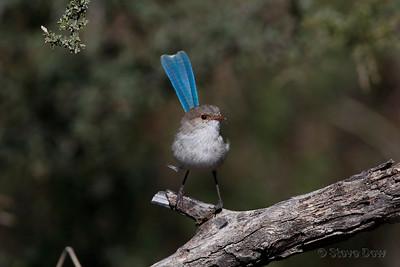Splendid Fairy-wren - Female