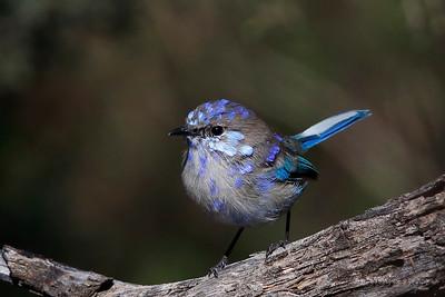 Splendid Fairy-wren - Male