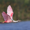 Roseate Spoonbill returns with nesting material.