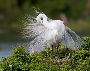 Great Egret Preening at Nest