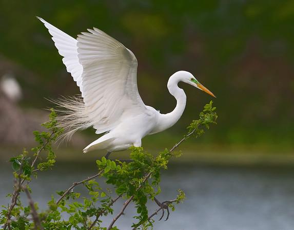 Spoonbills and Egrets at High Island, TX