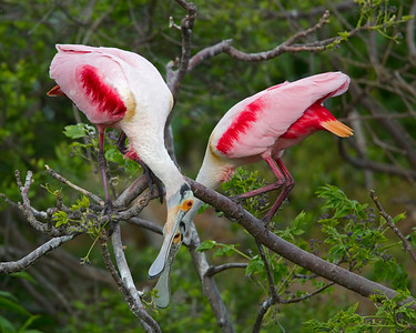 Pair of Roseate Spoonbills Courting.