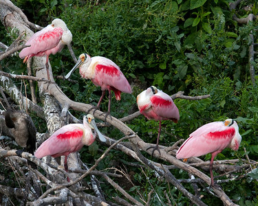 Roseate Spoonbill Group.