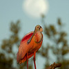 As the sun was setting, the moon rose behind this roseate spoonbill.  It's not often an opportunity like this comes up....sometimes luck is on your side.