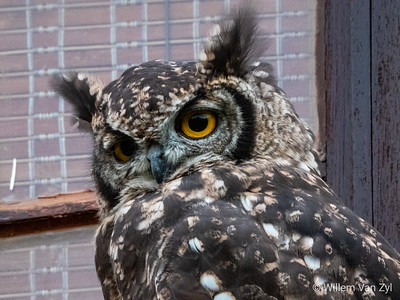 Spotted Eagle-Owl (Bubo africanus) from Rotsvas, Vredendal, Western Cape