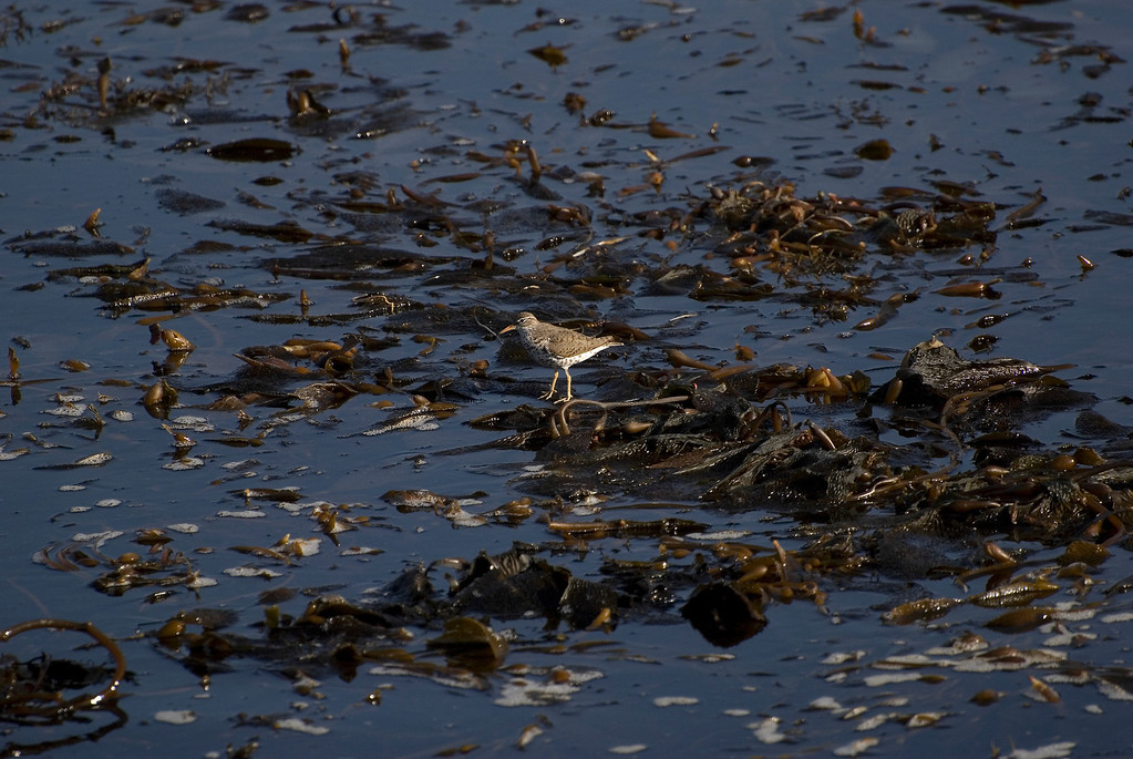 Adult Breeding Spotted Sandpiper