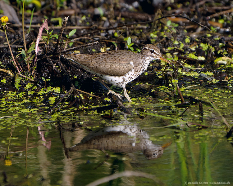 20200529 - Spotted Sandpiper at the water's edge