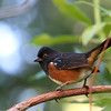 Spotted Towhee<br /> 15 NOV 2012