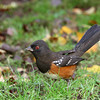 Spotted Towhee<br /> 27 NOV 2012