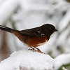 Spotted Towhee<br /> 19 JAN 2012
