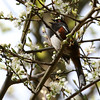 Spotted Towhee<br /> 16 APR 2012