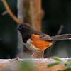 Spotted Towhee<br /> 12 JAN 2013