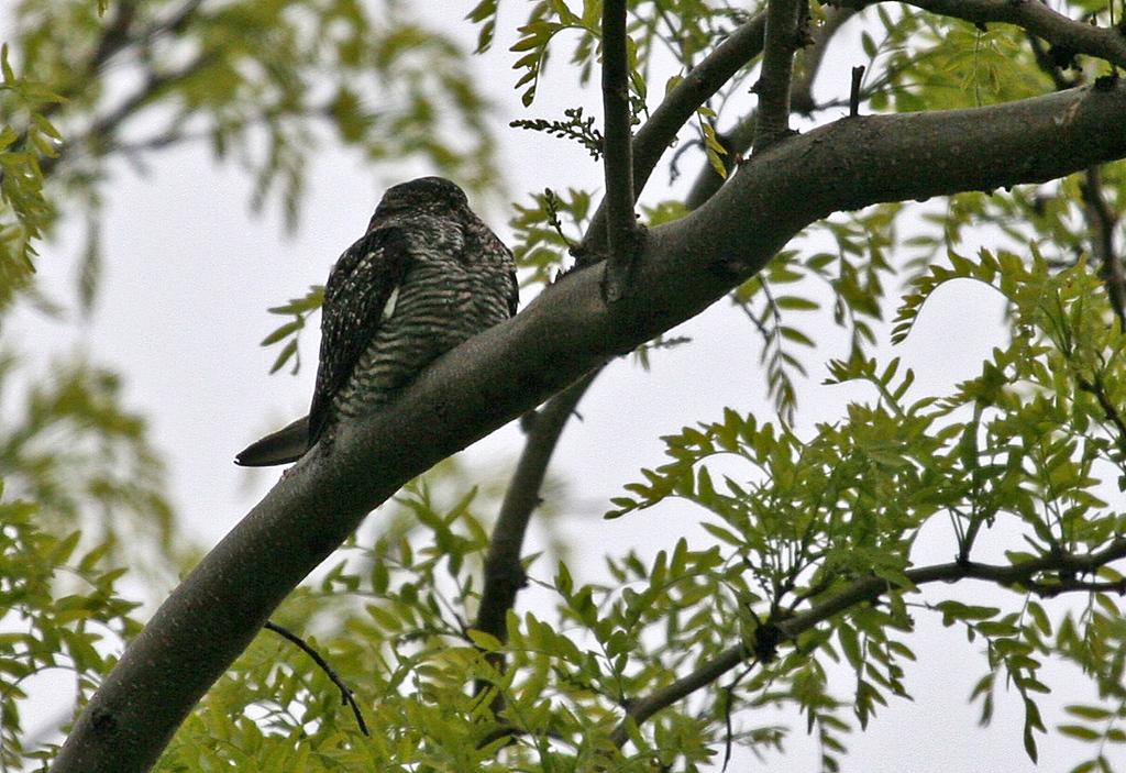 Common Nighthawk - Montrose Point, May 22, 2010