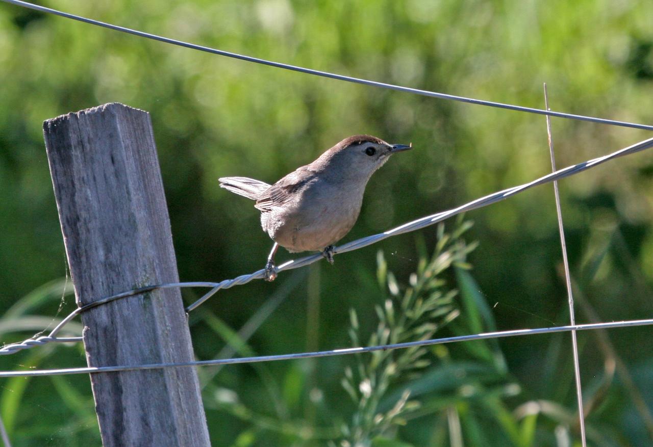 Gray Catbird - Heidecke Lake, Goose Lake Prairie Area, July 16, 2010