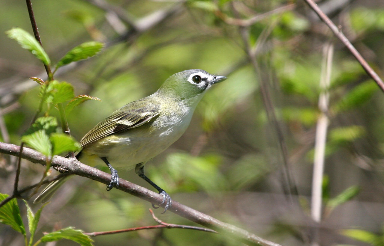 Blue-headed Vireo - McClaughrey Springs