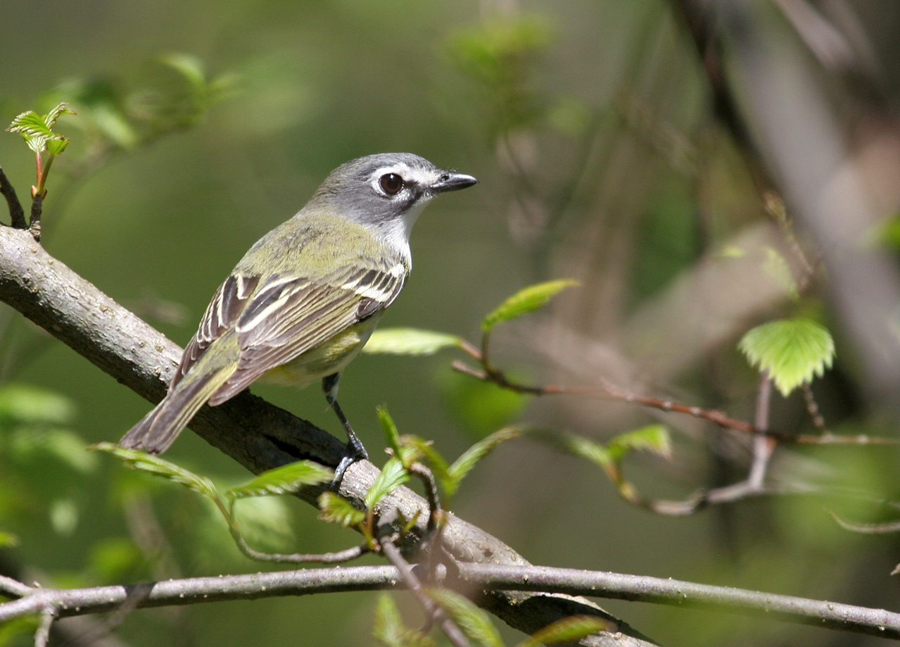 Blue-headed Vireo - McClaughrey Springs:  Bird was at picnic table near parking lot.