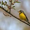 Canada Warbler - Montrose Point