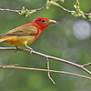 Summer Tanager - Lyman Woods:    First spring male. I wonder if their breeding here?
