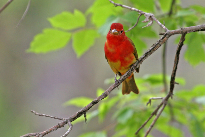 Summer Tanager (1st spring male) - Lyman Woods, DuPage. Bird was seen on west path near Highland Ave and 3rd Street.