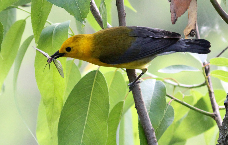June 4, 2012 - Prothonotary Warbler with a Mayfly returning to nest. Magee Marsh, Ohio