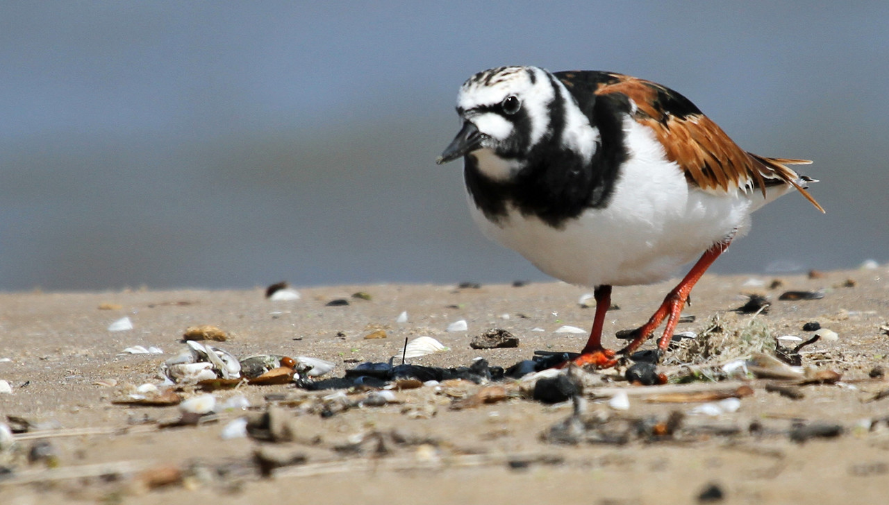 May 9, 2012  - Ruddy Turnstone - Montrose Point