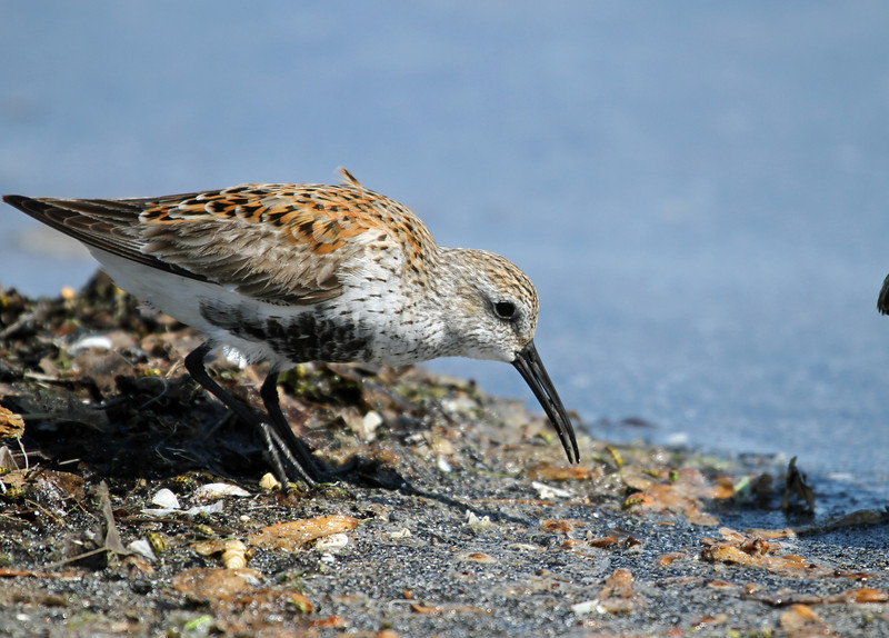 May 9, 2012 - Least Sandpiper - Montrose Point