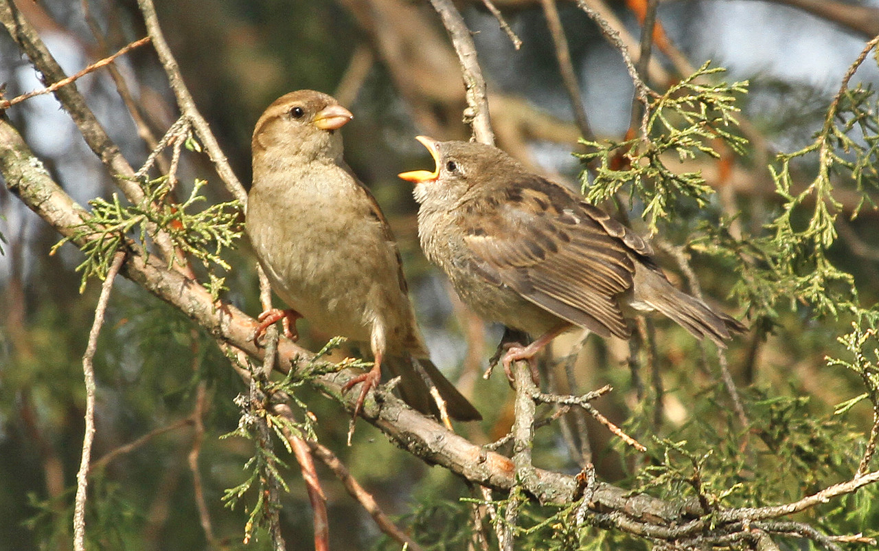 May 2, 2012 - House Sparrow - Villa Park, IL