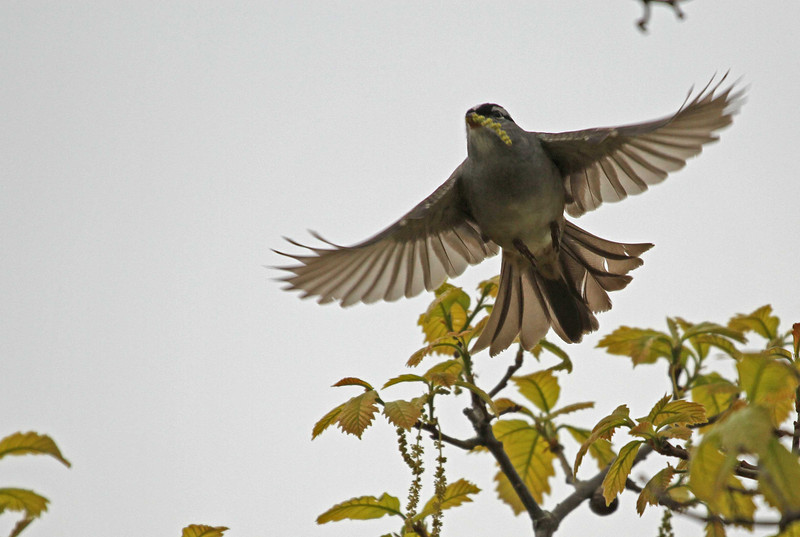 May 1, 2012 - White-crowned Sparrow - Paul Douglas Forest Preserve