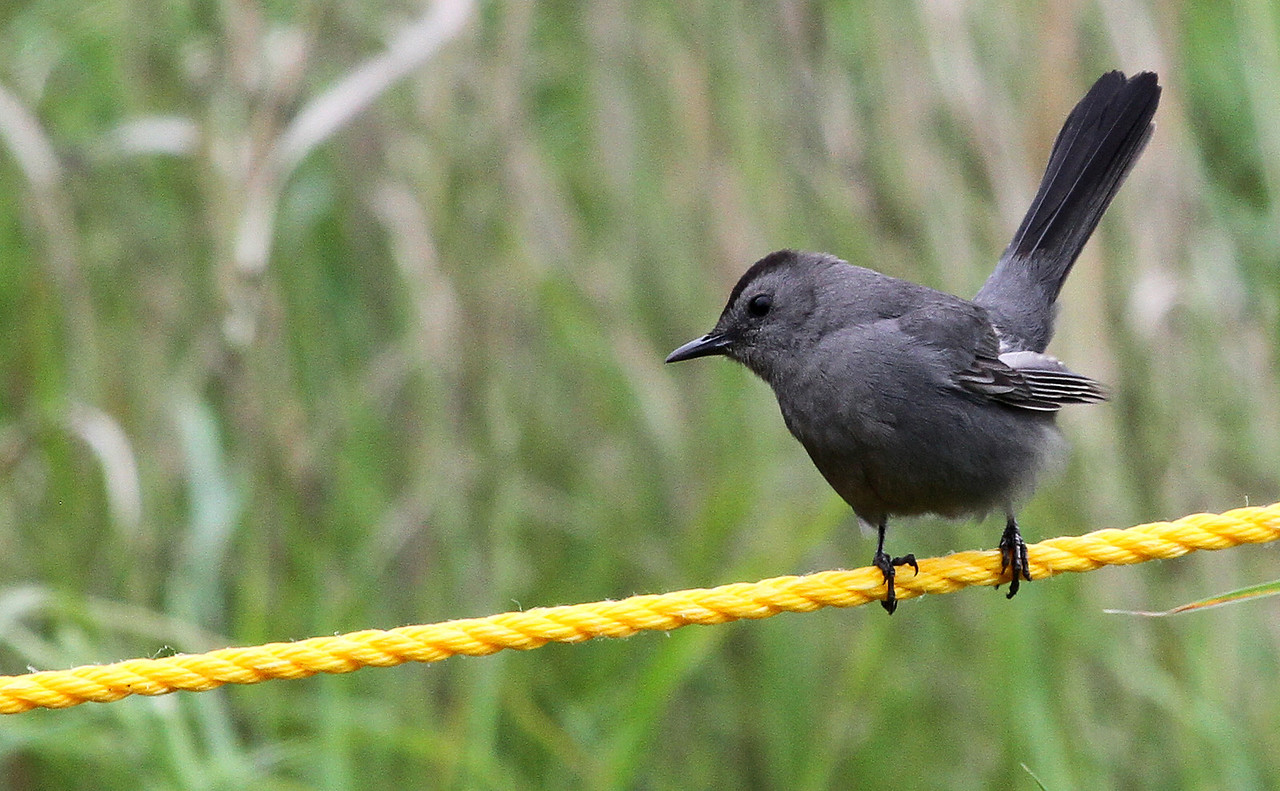May 9, 2012 - Gray Catbird - Montrose Point