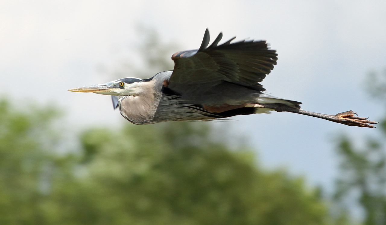 May 8, 2012 - Great Blue Heron - Paul Douglas Forest Preserve