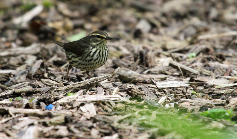 May 9, 2012 - Northern Waterthrush - Montrose Point