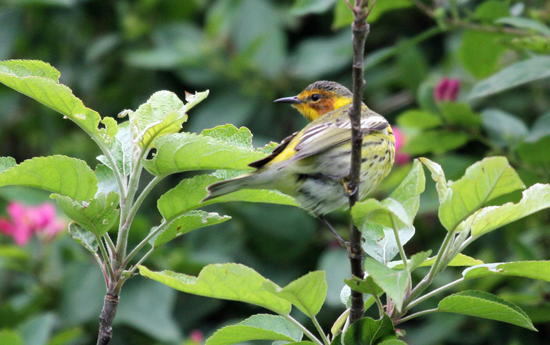 May 9, 2012 - Cape May Warbler - Montrose Point