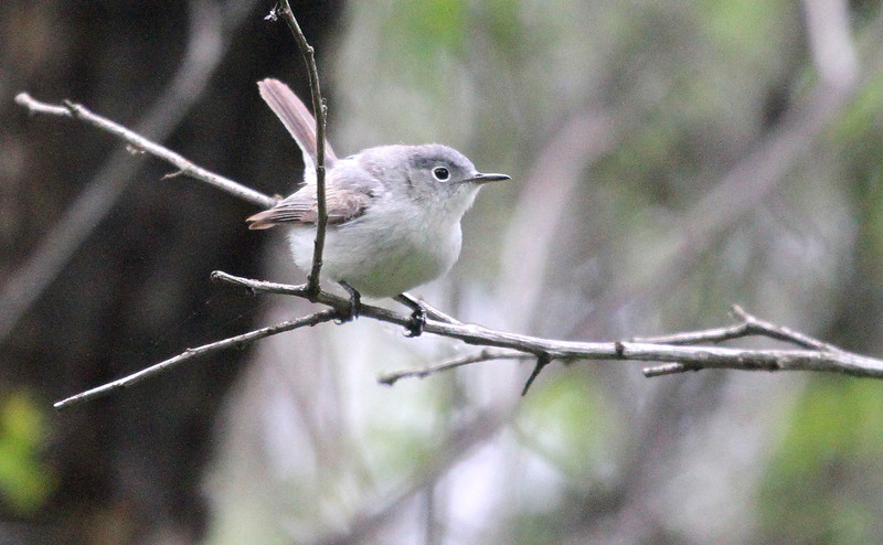 May 9, 2012   -  Blue-gray Gnatcatcher -  Montrose Point