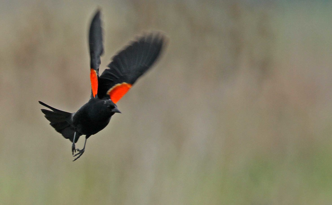 May 1, 2012 - Red-wing Blackbird - Paul Douglas Forest Preserve