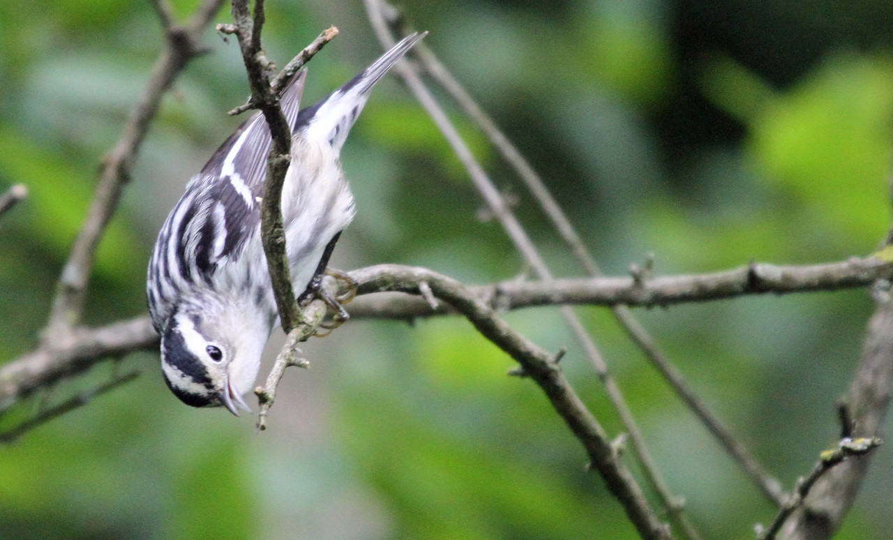 May 9, 2012 - Black-and-white Warbler - Montrose Point