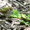 May 9, 2012   -     Ovenbird   -     Montrose Point