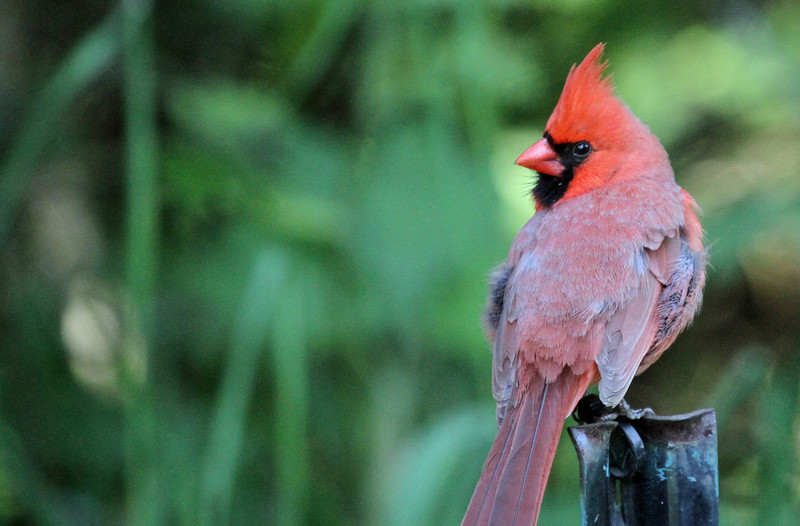 May 9, 2012  - Northern Cardinal - Montrose Point