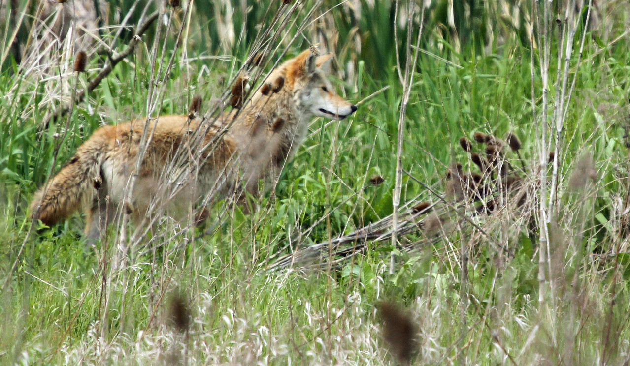 May 8, 2012 - Coyote - Paul Douglas Forest Preserve
