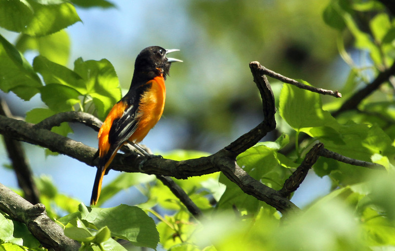 May 4, 2012 - Baltimore Oriole - Bemis Woods Forest Preserve
