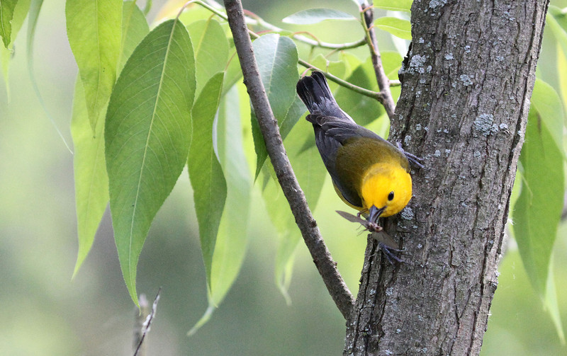 Juen 4, 2012 - Prothonotary Warbler - Magee Marsh, Ohio