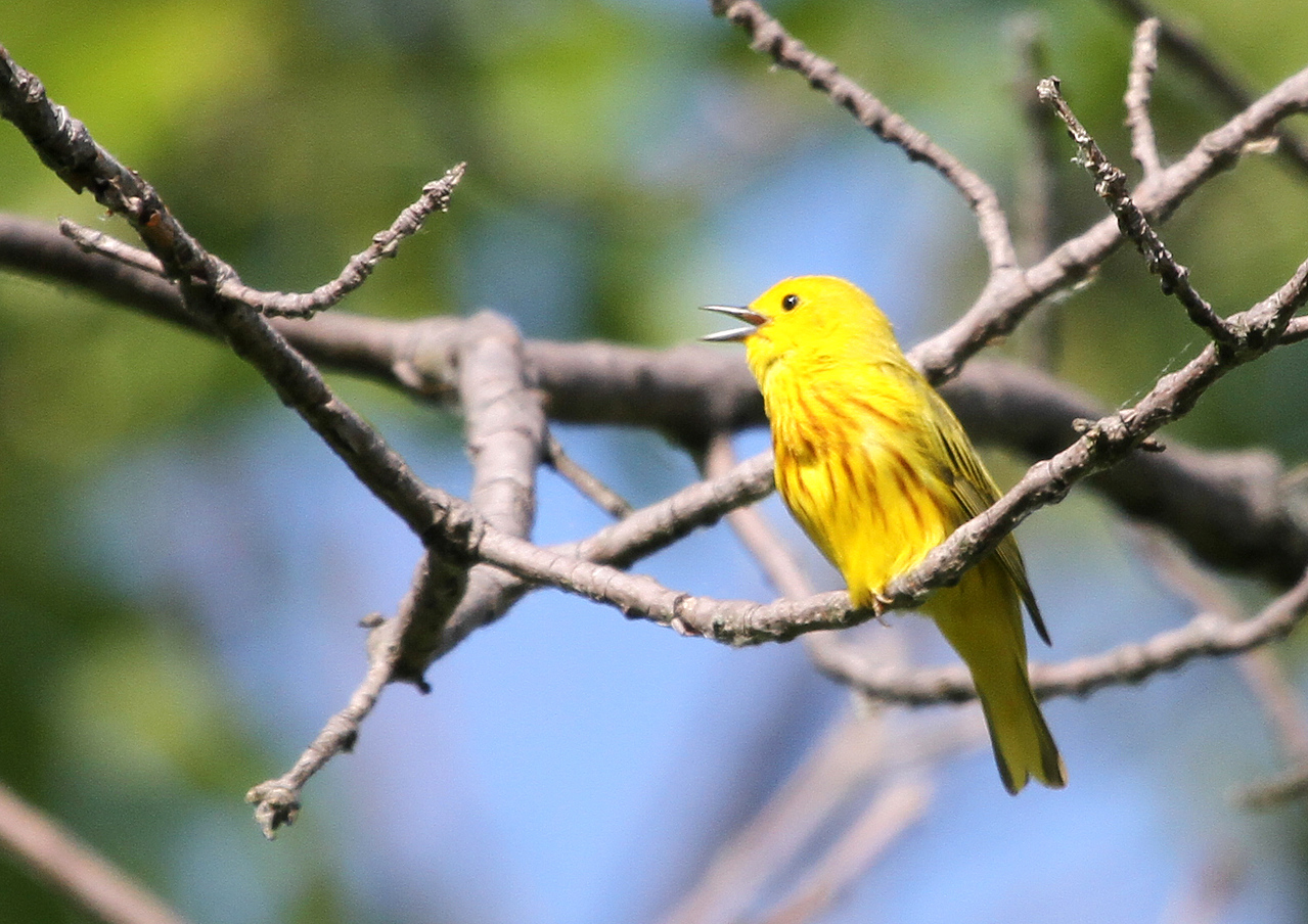June 4, 2012 - Yellow Warbler - Magee Marsh, Ohio