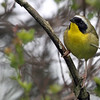 May 9, 2012 - Common Yellowthroat - Montrose Point