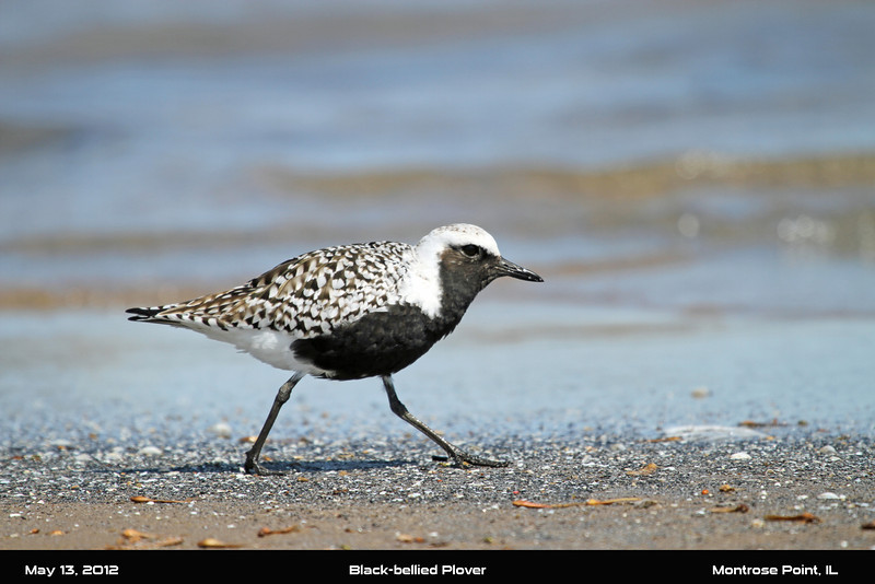 May 9, 2012 - Black-bellied Plover - Montrose Point