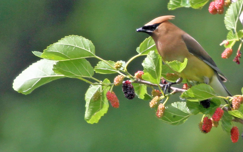 June 4, 2012 - Cedar Waxwing - Magee Marsh, Ohio