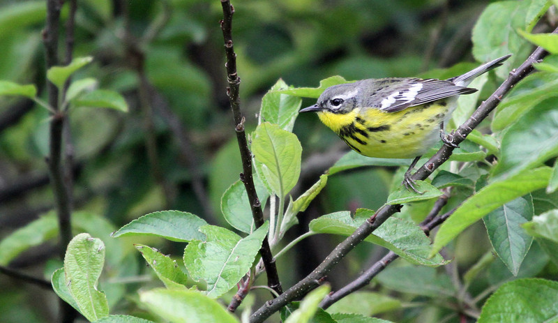 May 9, 2012 - Magnolia Warbler - Montrose Point
