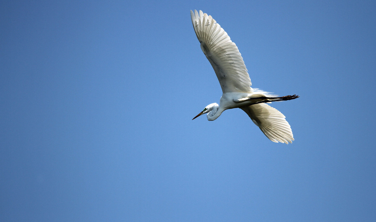 May 17, 2012 - Great Egret - Churchill Woods Forest Preserve, DuPage