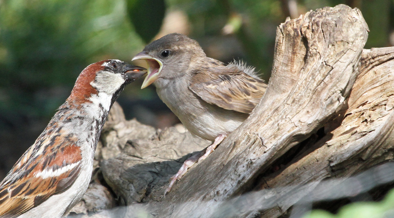 June 16, 2012 -  House Sparrow feeding young.