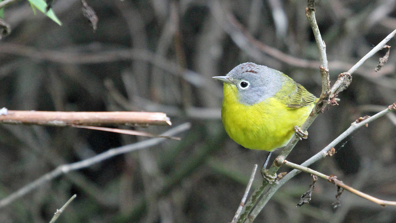 May 9, 2012 - Nashville Warbler - Montrose Point