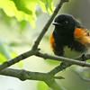 May 9, 2012 - American Redstart - Montrose Point