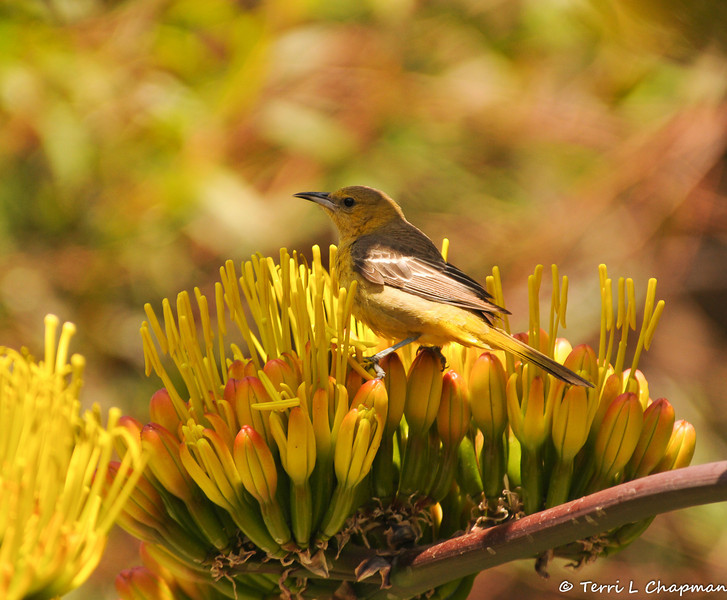 A young female Hooded Oriole on a Century Plant